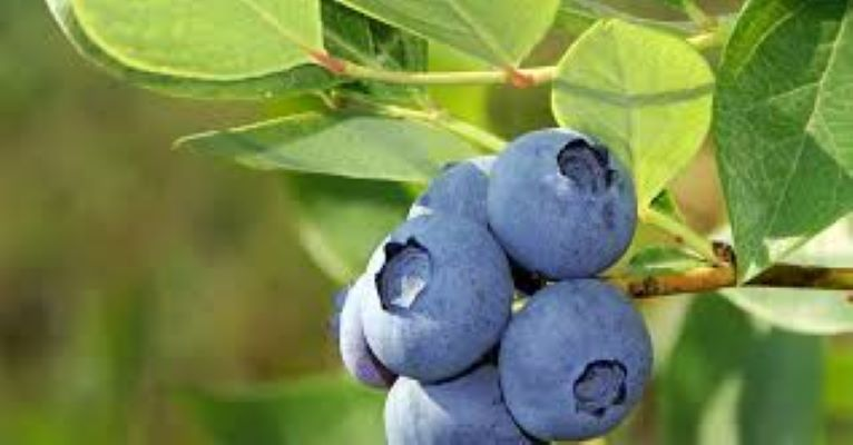 blueberry bush image