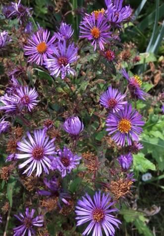 perennial flower image
